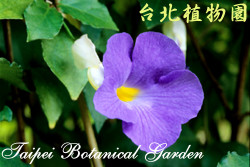 Thunbergia erecta (Benth.) T. Anders.立鶴花