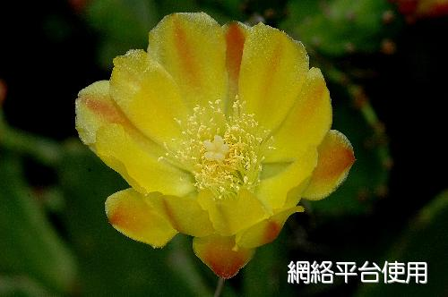 Opuntia tuna (L.) Mill.金武扇仙人掌