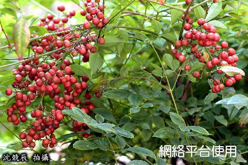 Nandina domestica Thunb.南天竹