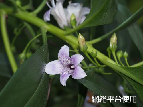 Myoporum bontioides (Sieb. & Zucc.) A. Gray苦檻藍