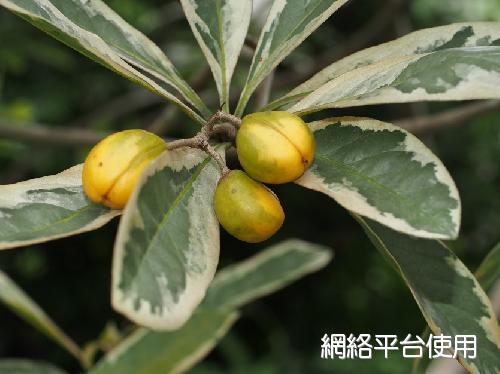 Pittosporum moluccanum 'Variegated Leaves'花葉蘭嶼海桐