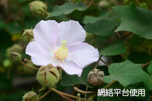 Hibiscus taiwanensis S. Y. Hu山芙蓉