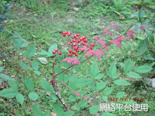 <I>Nandina</I> <I>domestica</I> Thunb.&nbsp;南天竹