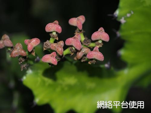 Euphorbia antiquorum L.霸王鞭