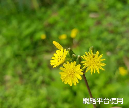 Youngia japonica (L.) DC.黃鵪菜