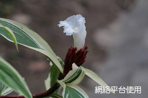 <I>Costus</I> <I>speciosus</I> 'Marginatus'&nbsp;斑葉閉鞘薑