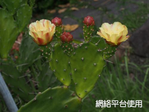 <I>Opuntia</I> <I>tuna</I> (L.) Mill.&nbsp;金武扇仙人掌