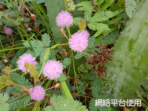 Mimosa pudica L.含羞草