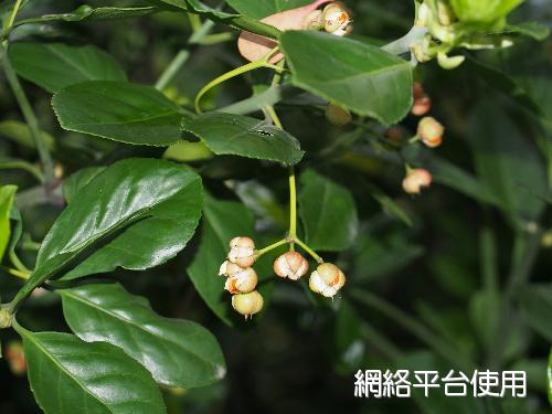Euonymus japonicus Thunb.日本衛矛