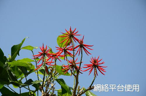 Erythrina caffra Thunb.火炬刺桐
