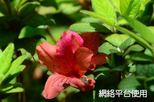 Rhododendron oldhamii Maxim.金毛杜鵑